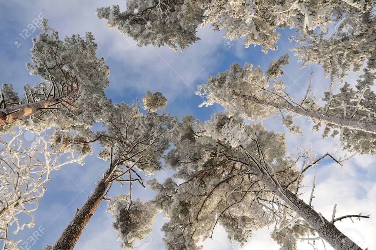 bright tall trees under fresh snow over blue sky Stock Photo - 11720858