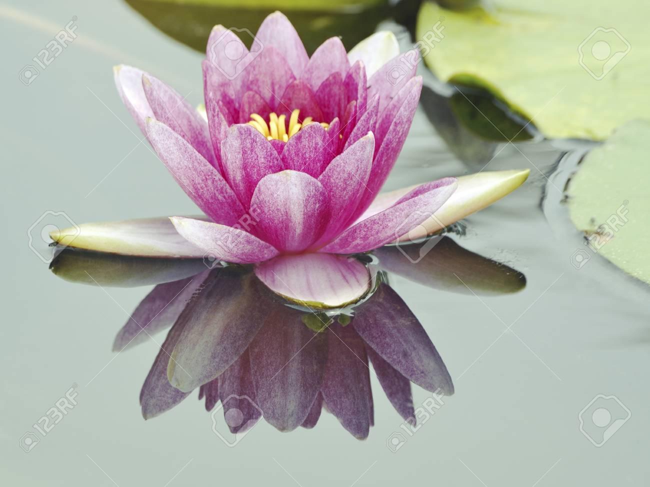 Light Key Image Of Blossom Lotus Flower In Japanese Pond Focus