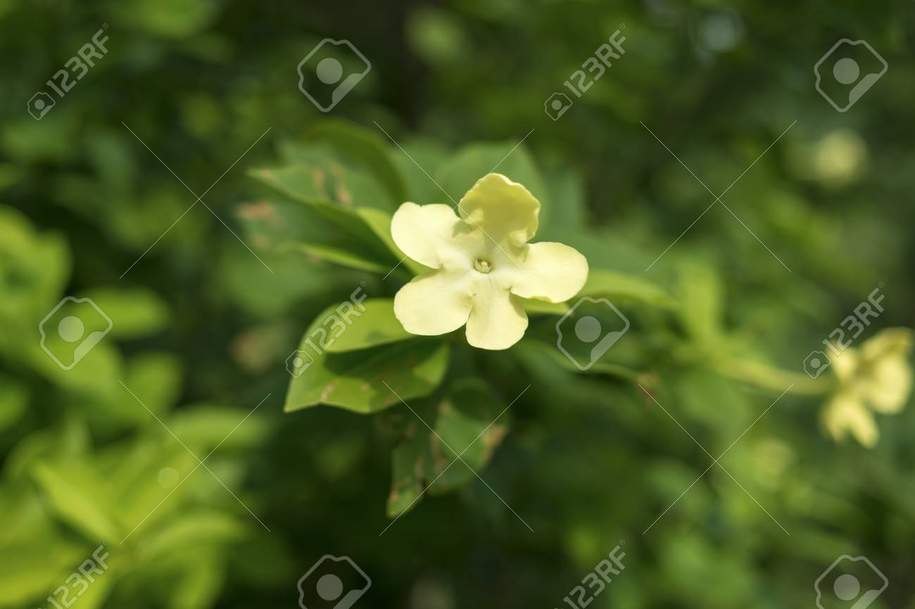 Night blooming jasmine plant with focus on flower stock photo night blooming jasmine plant with focus on flower stock photo 34695726 izmirmasajfo