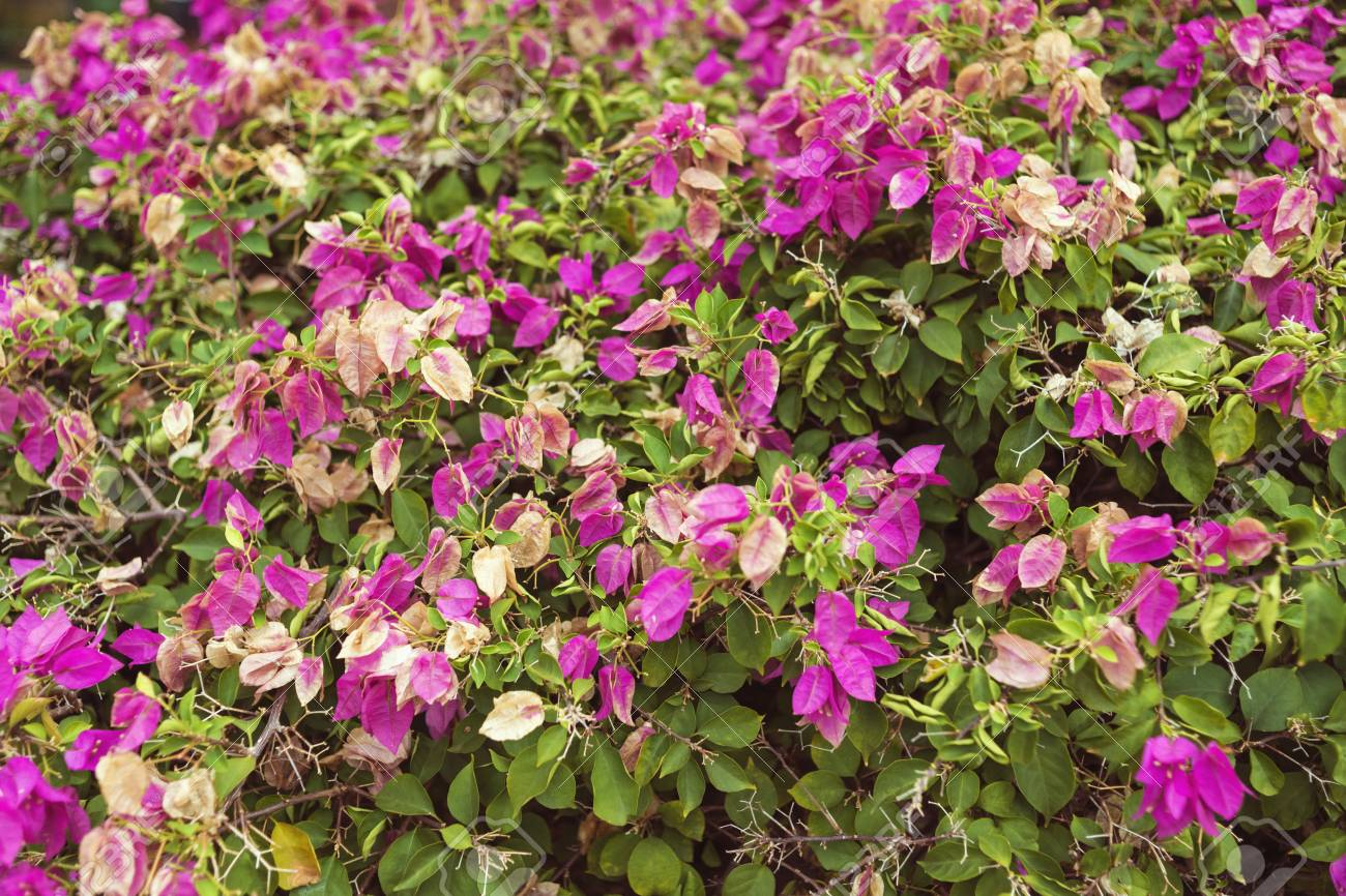 Huge Fresh Bush Blooming By Pink Flowers Stock Photo Picture And