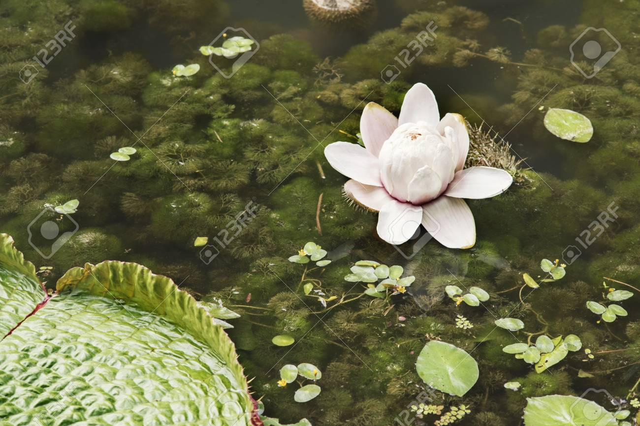Giant water lily flower and leaf in tropical pond stock photo giant water lily flower and leaf in tropical pond stock photo 90101184 izmirmasajfo