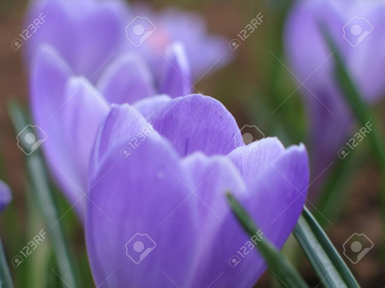 blooming blue crocuses Stock Photo - 406396
