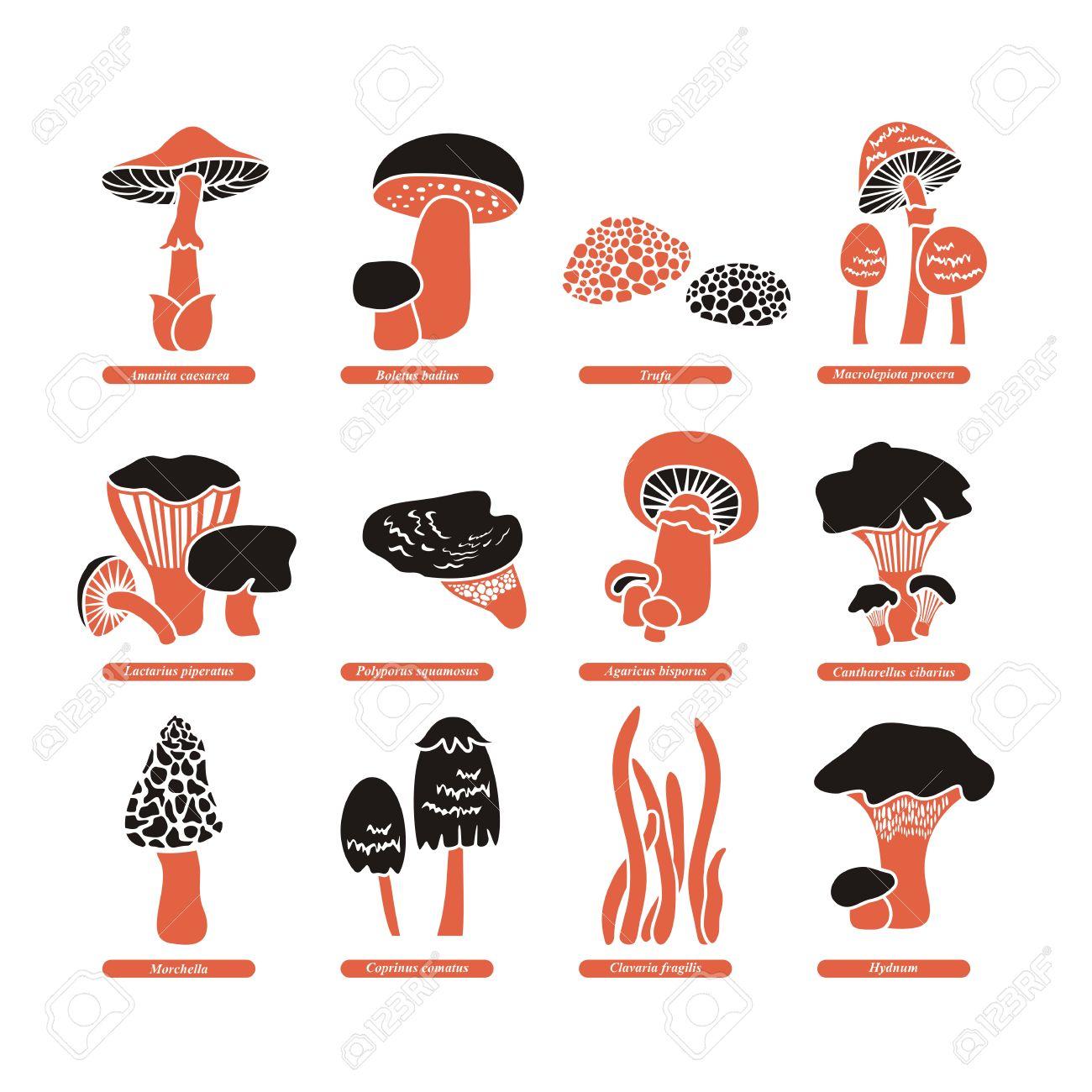 Set With Various Edible Fungi And Their Latin Names Stock Vector