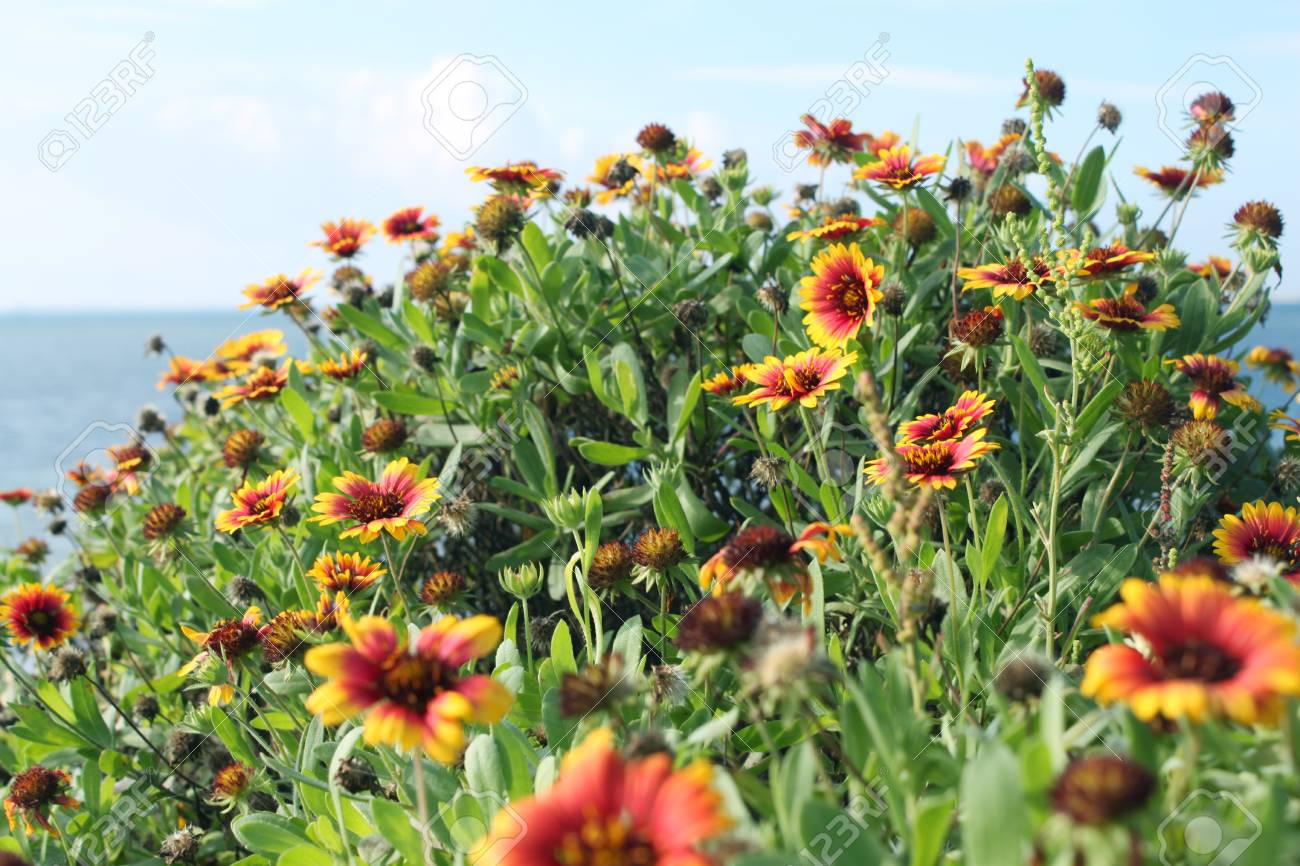 Gaillardia Pulchella Stock Photo Picture And Royalty Free Image