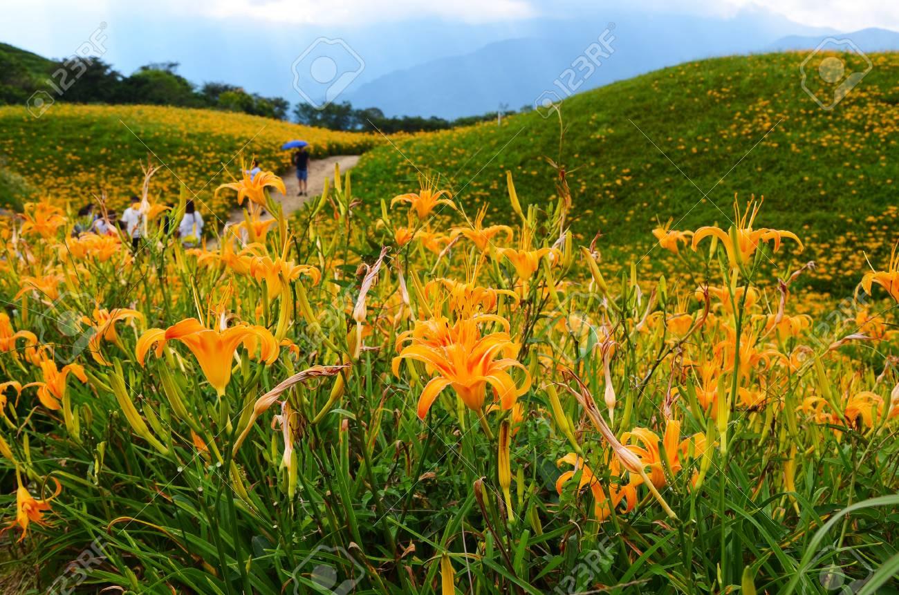Hemerocallis Fulva Orange Daylily The Orange Day Lily Flower
