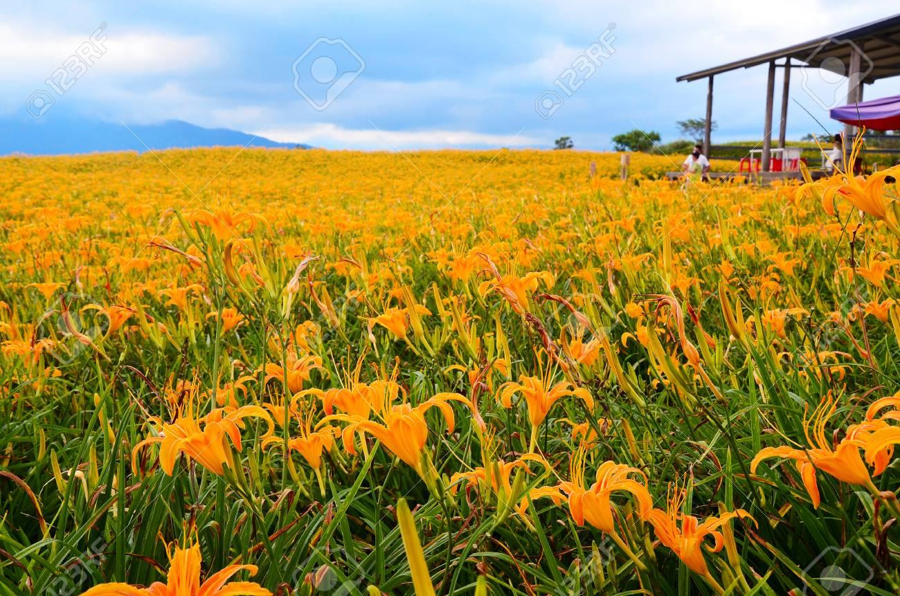 Hemerocallis fulva orange daylily the orange day lily flower hemerocallis fulva orange daylily the orange day lily flower at sixty stone mountain izmirmasajfo