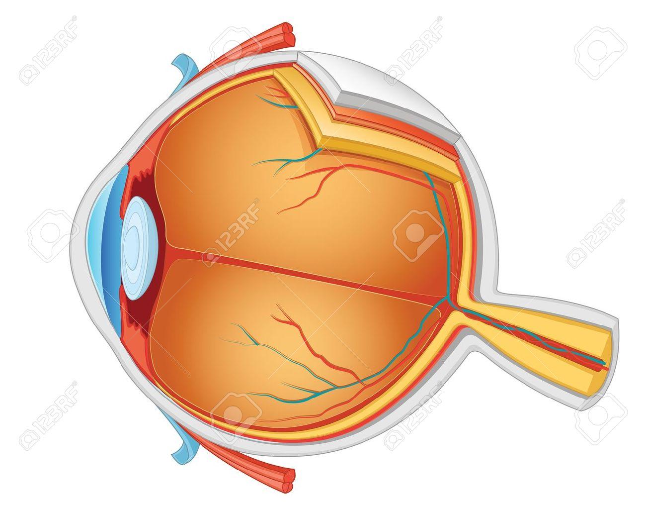 Anatomía Del Ojo Ilustración Vectorial Ilustraciones Vectoriales ...