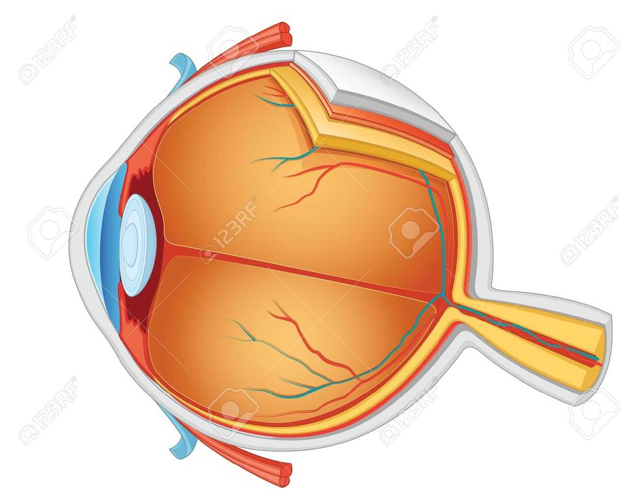 Eye Anatomy Vector Illustration Royalty Free Cliparts, Vectors, And ...