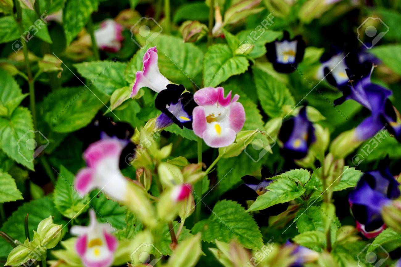 Torenia fournieri the bluewings or wishbone flower is an annual stock photo torenia fournieri the bluewings or wishbone flower is an annual plant in the linderniaceae with blue white or pink flowers that have izmirmasajfo