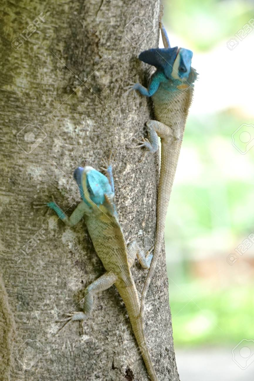 oriental garden lizard eastern garden lizard changeable lizardcalotes mystaceus on fighting with - Garden Lizard