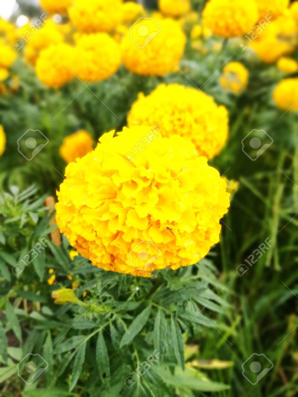 Las Maravillas Son Resistentes Plantas Anuales Y Son Excelentes - Plantas-de-jardin-resistentes