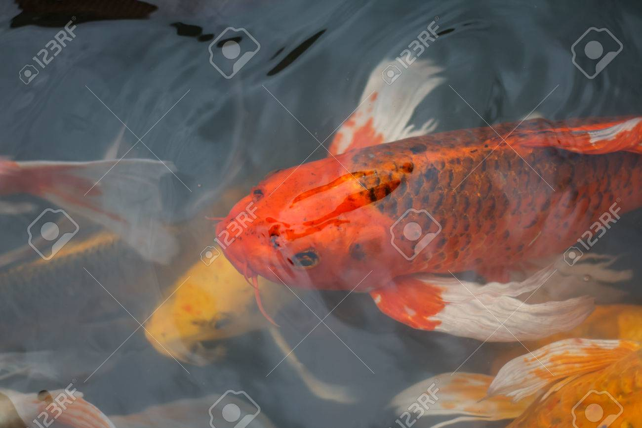 Colorful Fish Or CARP Or Fancy Carp, Also Known As Fancy Carp ...