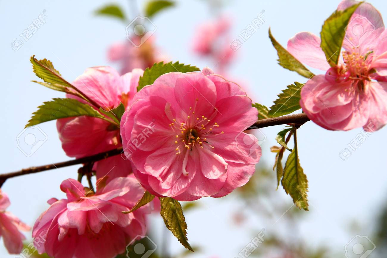 Branches of blooming peach tree Stock Photo - 875589