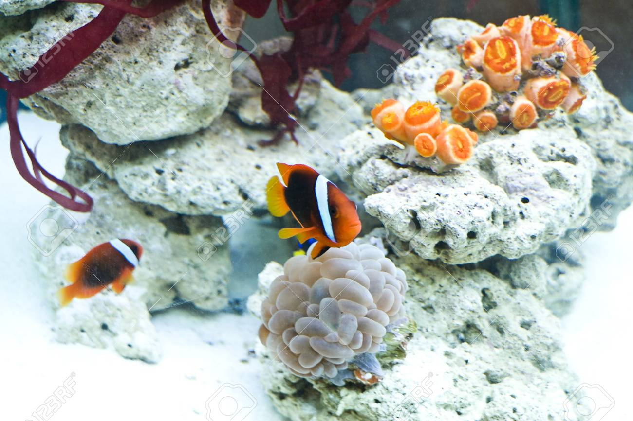 clown fish and beautiful coral in a sea aquarium Stock Photo - 3837629