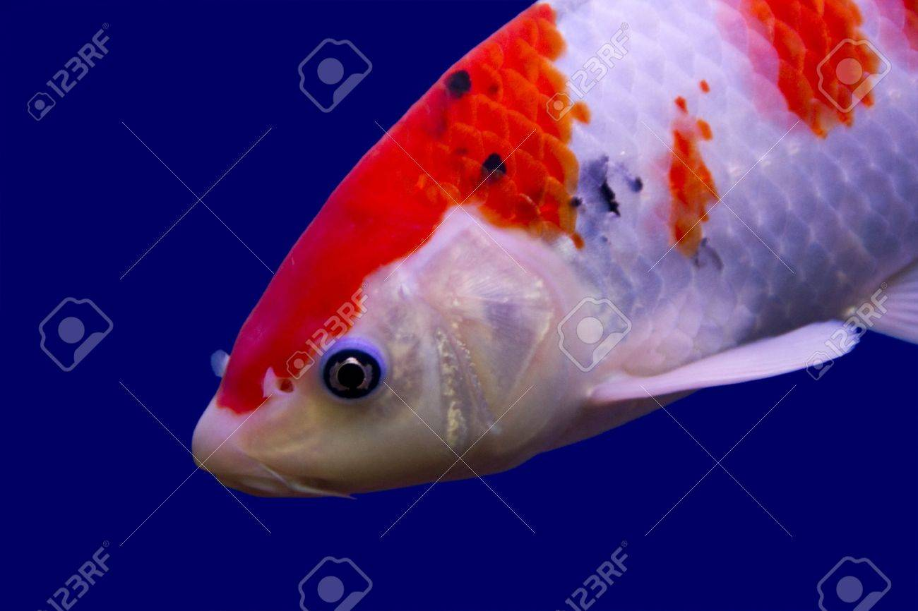 Big Colorful Koi Carp In A Aquarium Stock Photo, Picture And Royalty ...
