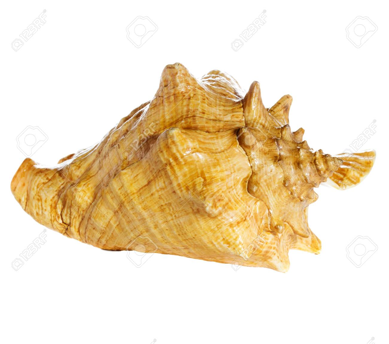 sea shell  macro isolated on white  background closeup, Stock Photo - 21970486