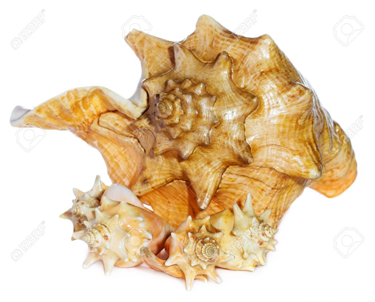 sea shells  macro isolated on white  background closeup Stock Photo - 21970495