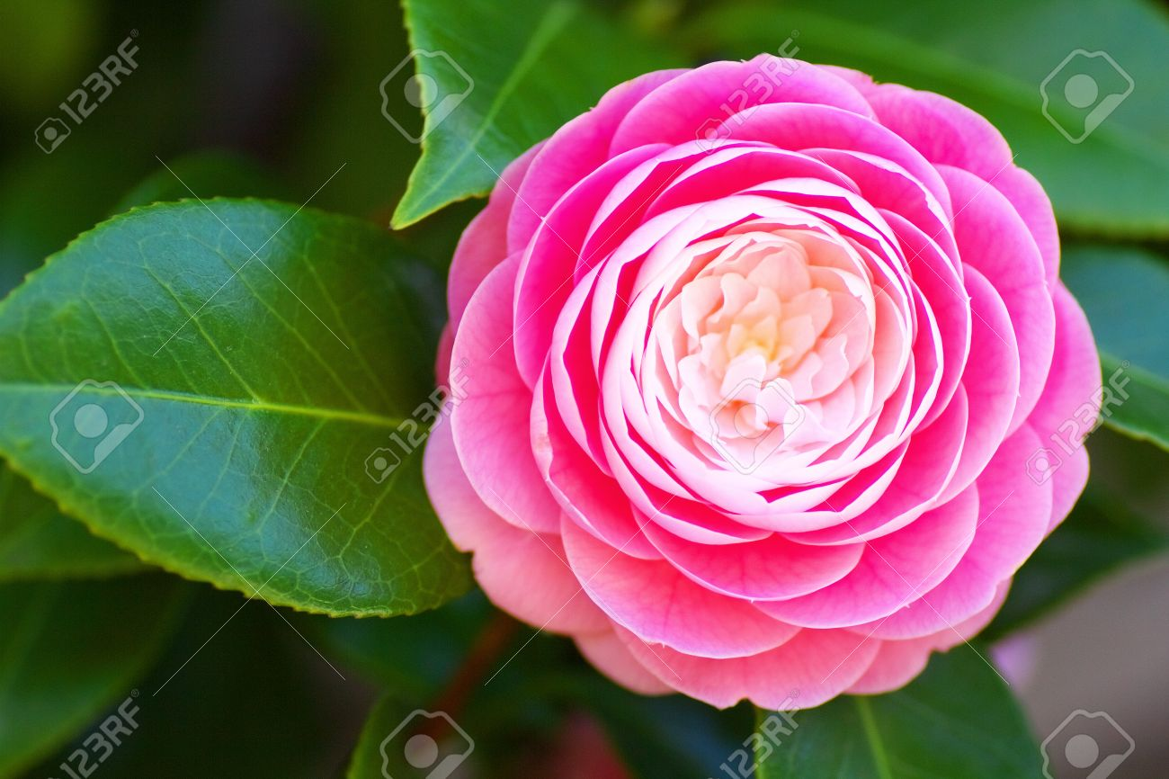 A pink camellia flower Stock Photo - 19374459