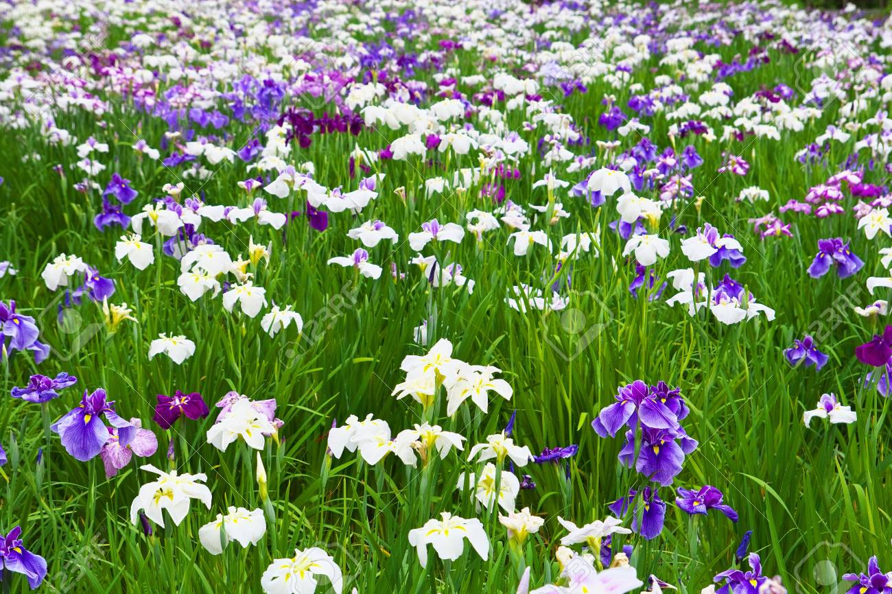 The Flower Garden Of Japanese Iris Stock Photo Picture And Royalty