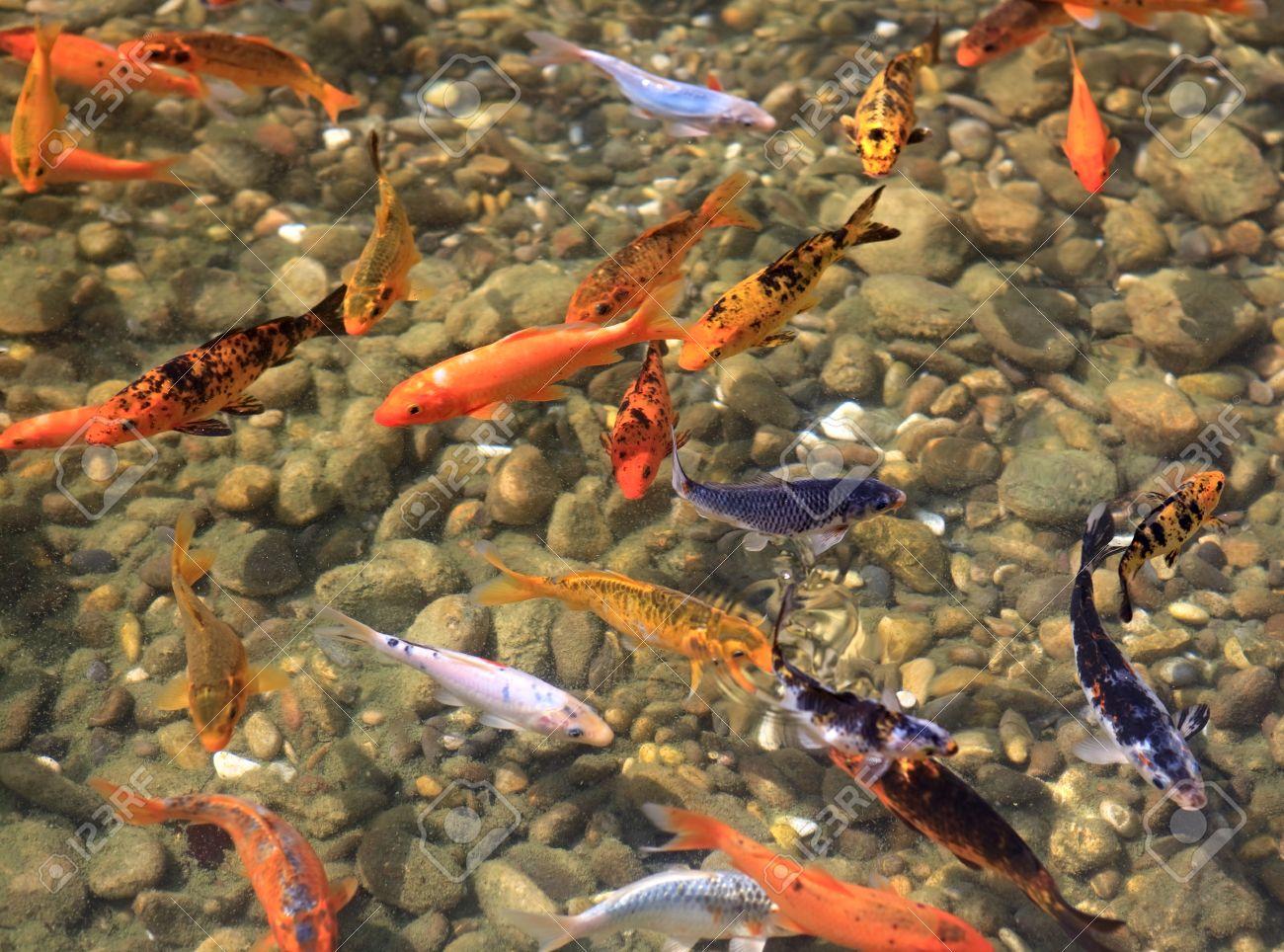 carpa koi los peces para el estanque foto de archivo