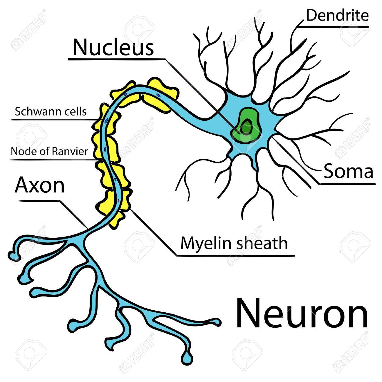 Anatomía De Una Neurona Típica Humana (axón, Sinapsis, Las Dendritas ...