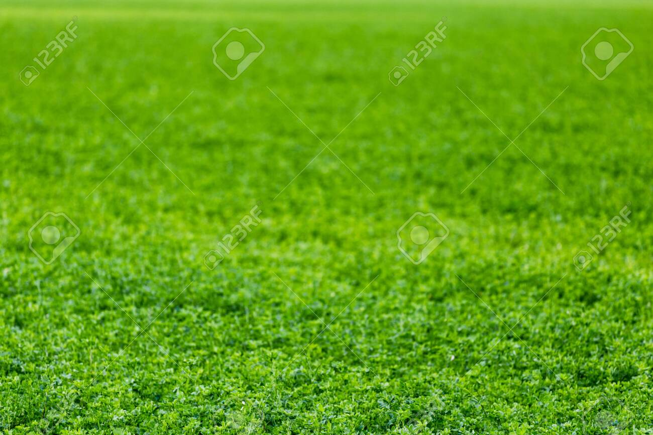horizonless and edgeless green field agricultural background with selective focus and blur. - 130491778