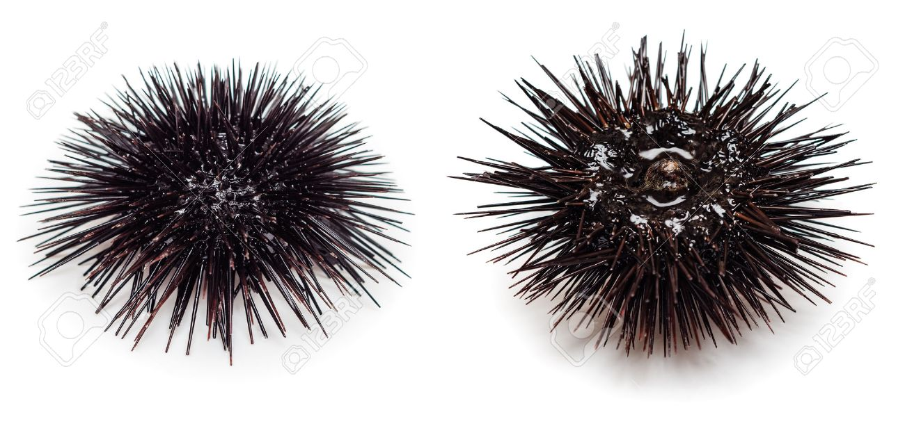 black sea urchin images u0026 stock pictures royalty free black sea