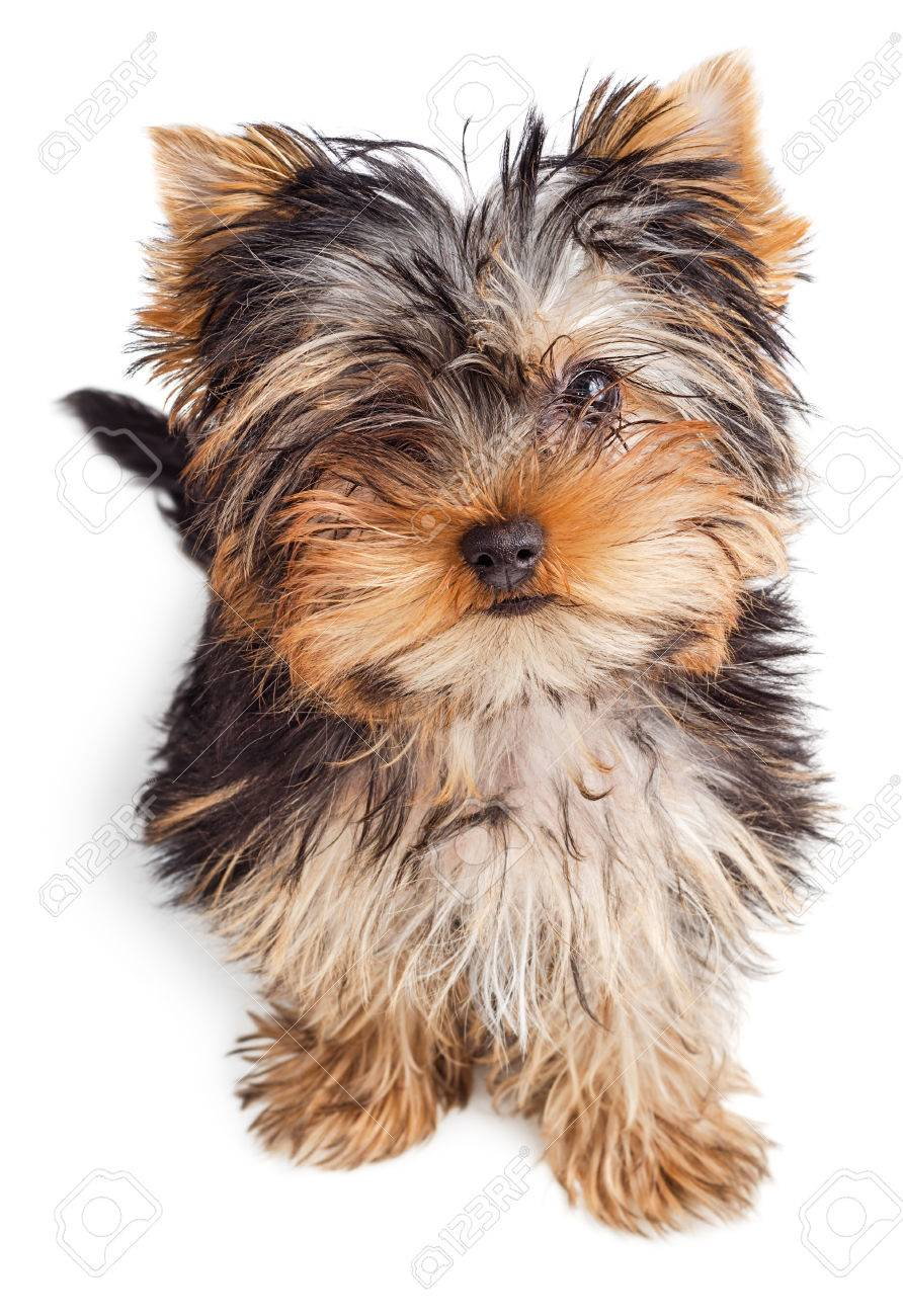 Yorkshire Terrier Puppy Sitting 5 Months Old Isolated On White