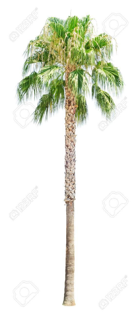 palmier haut
