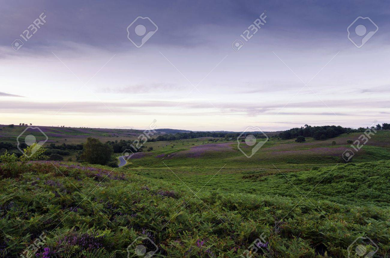 Late summer heather in bloom at Rockford Common in the New Forest Stock Photo - 16953438