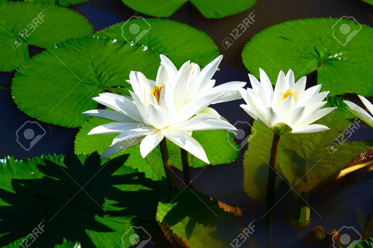 Landscape of white lotus flower grow in in the pond stock photo landscape of white lotus flower grow in in the pond stock photo 8729065 izmirmasajfo
