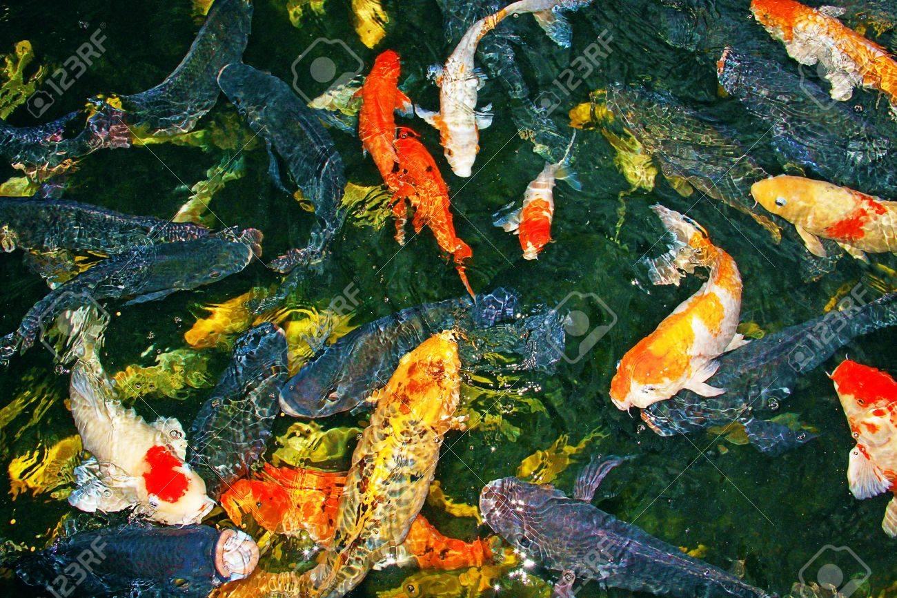 Colorful Koi Fish At Crocodile Farm Sandakan, Sabah Stock Photo ...