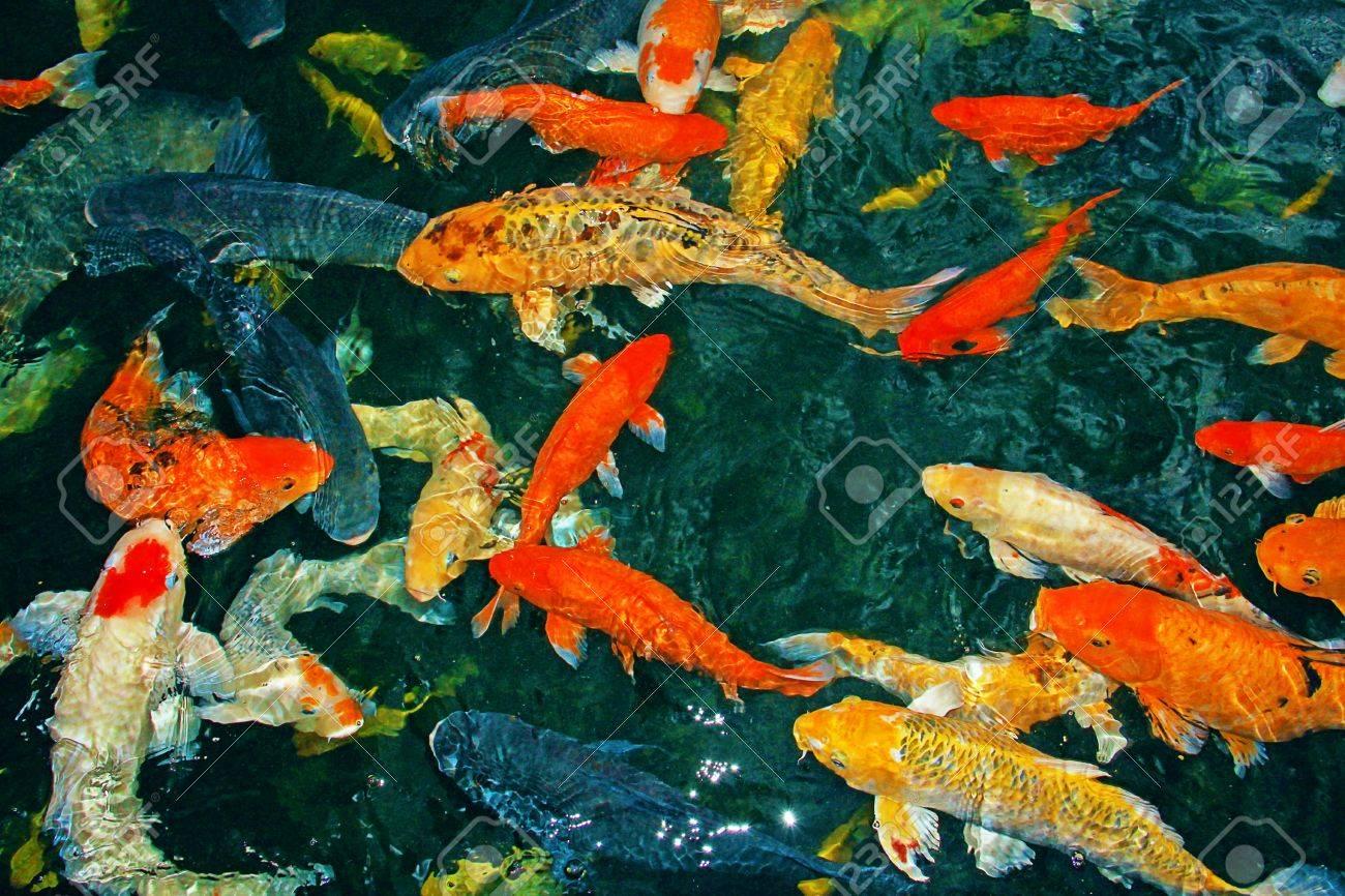 Beautiful Koi Fish Pictures >> Koi San Diego Zoo Animals Plants ...