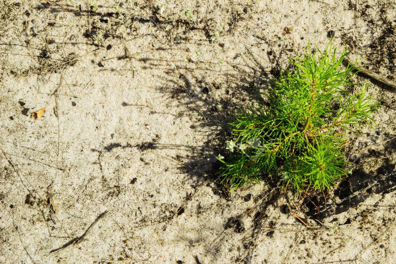 Le jeune pin sur le sol sableux dans une forêt, vue de dessus. Russie,  Sibérie.