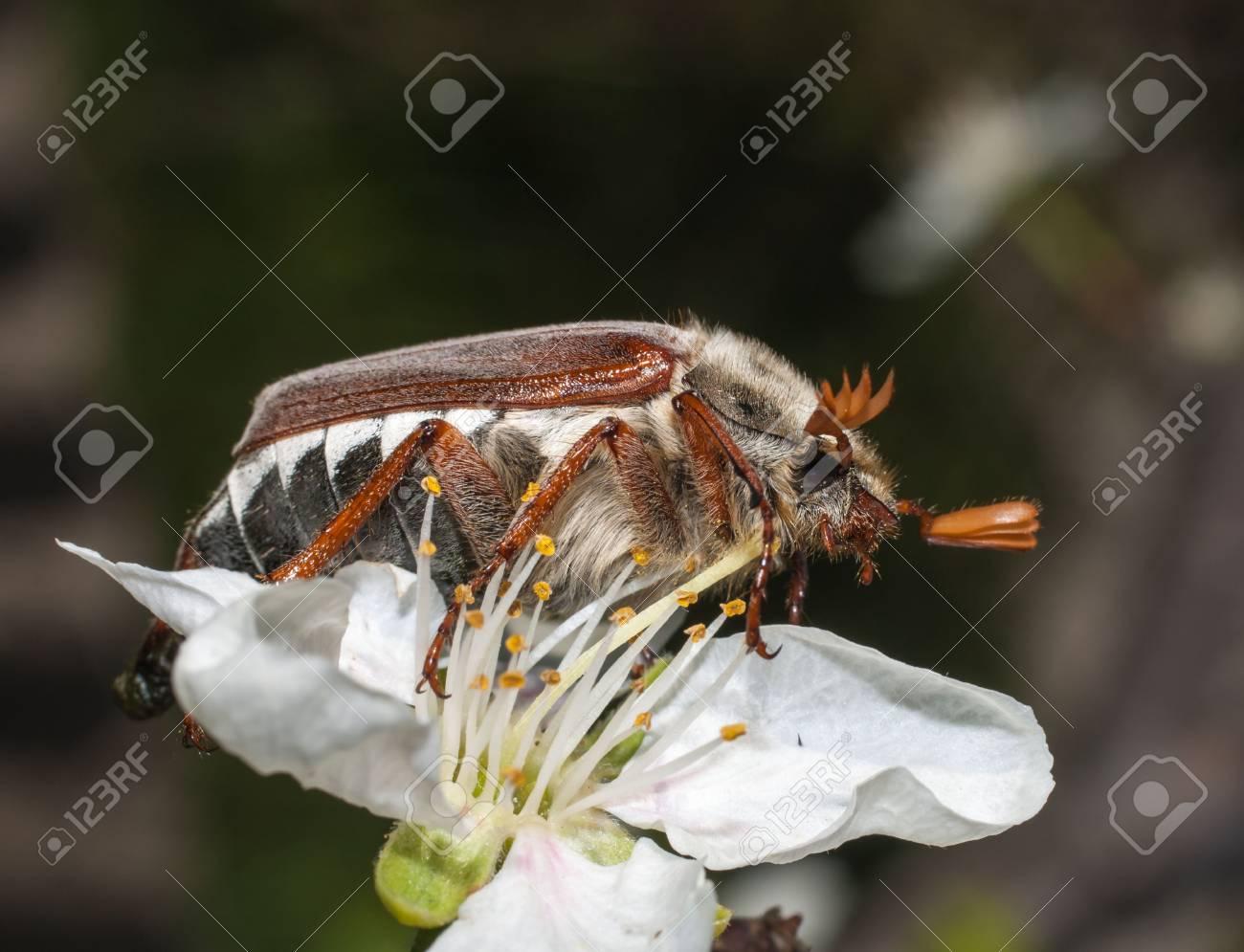 May bug on apple flower Stock Photo - 13551283