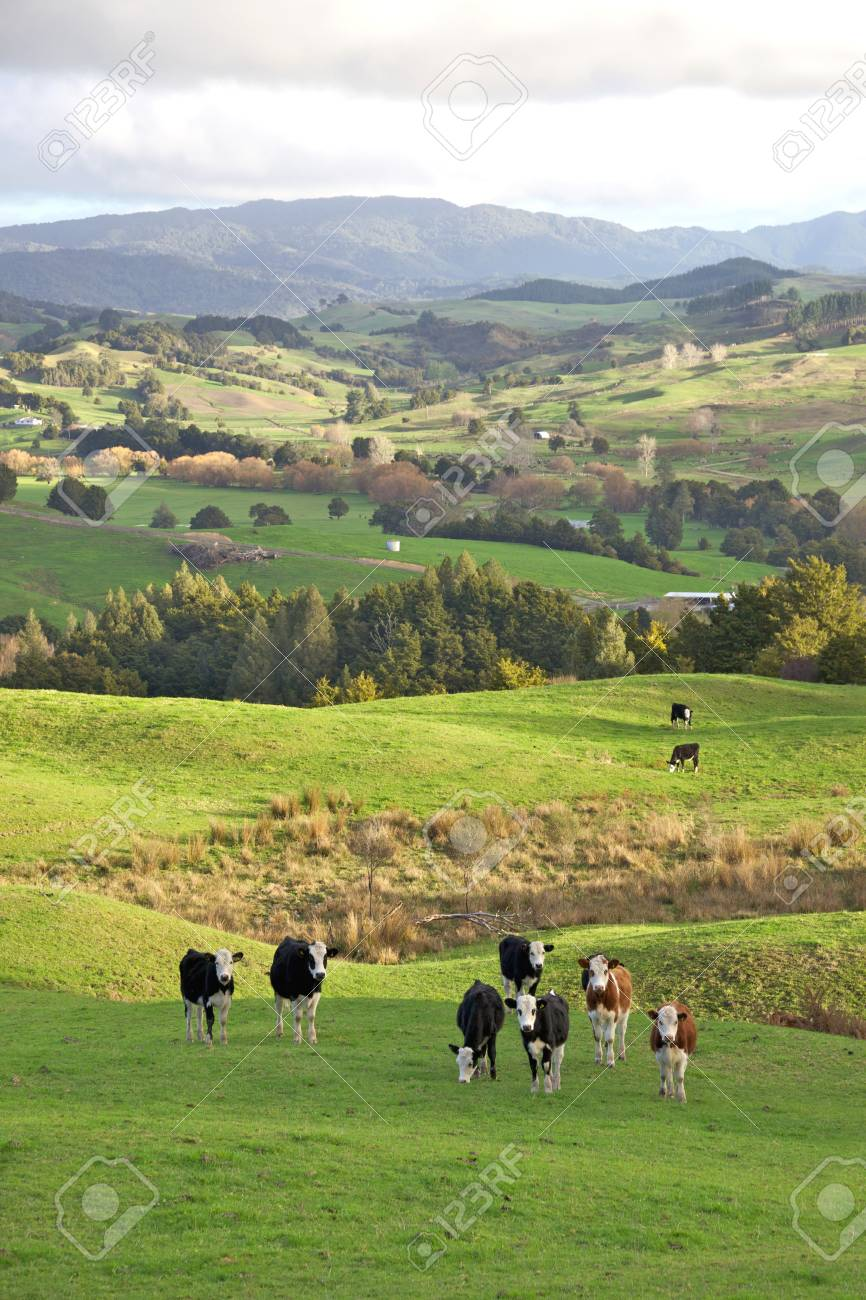 Cows grazing in the Towai district of North Island, New Zealand. Stock Photo - 12357272