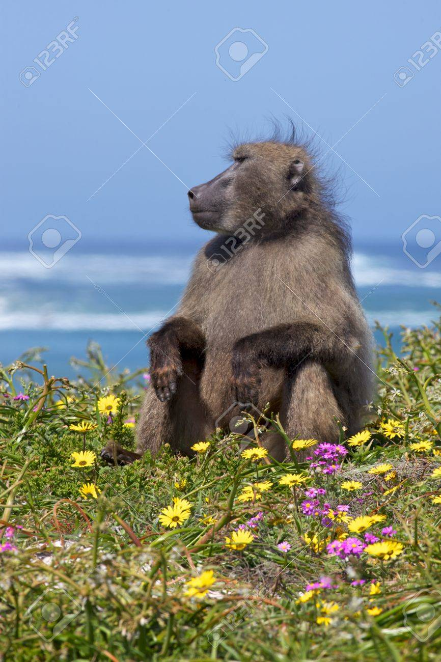 A chacma baboon (Papio ursinus) on the lookout near the Cape of Good Hope, South Africa. Stock Photo - 16554251