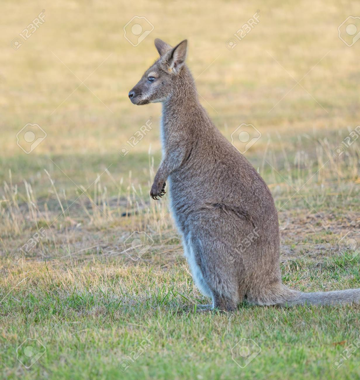 The Red Necked Wallaby Or Bennetts Wallaby Macropus Rufogriseus Stock Photo Picture And Royalty Free Image Image 119656541