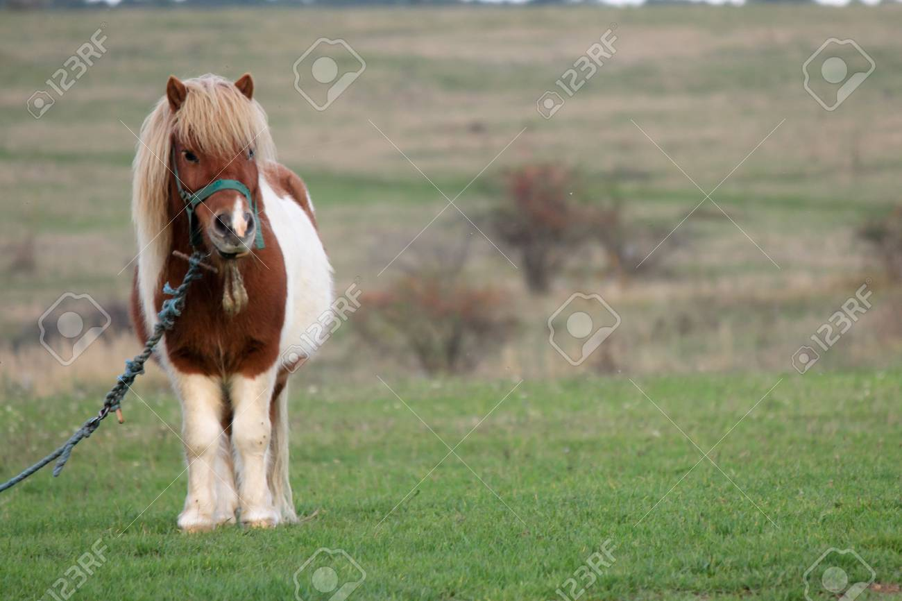 Uncategorized Picture Of A Pony picture of a pony tight to rope in the meadow stock photo 73132895