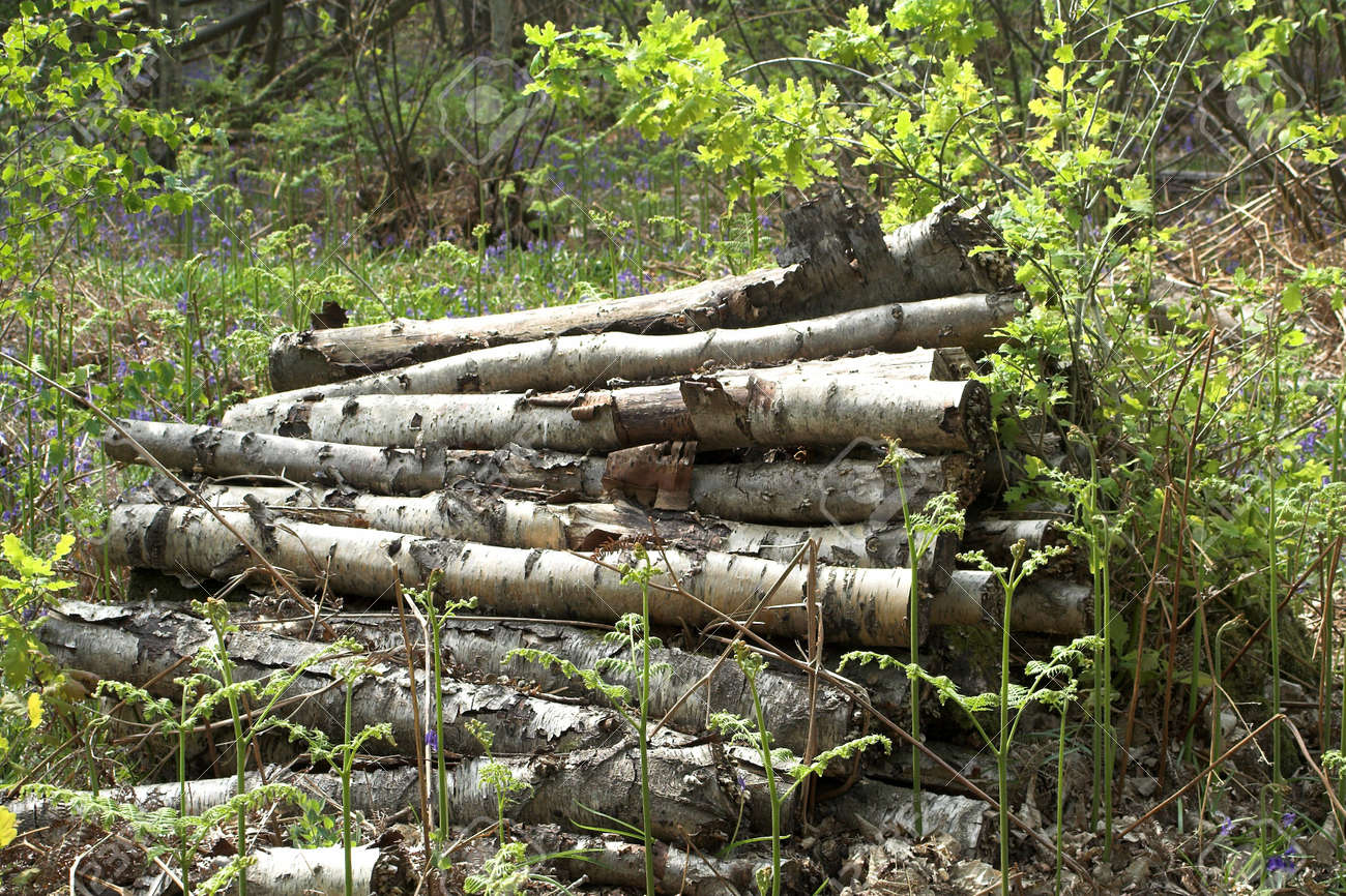 Pile of birch logs abandoned in woodland amidst bracken Stock Photo - 905659