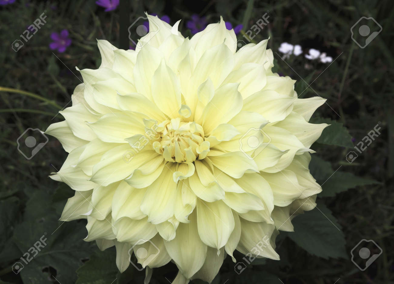 Cream coloured dahlia with just a hint of blue and white flowers cream coloured dahlia with just a hint of blue and white flowers in the background stock izmirmasajfo