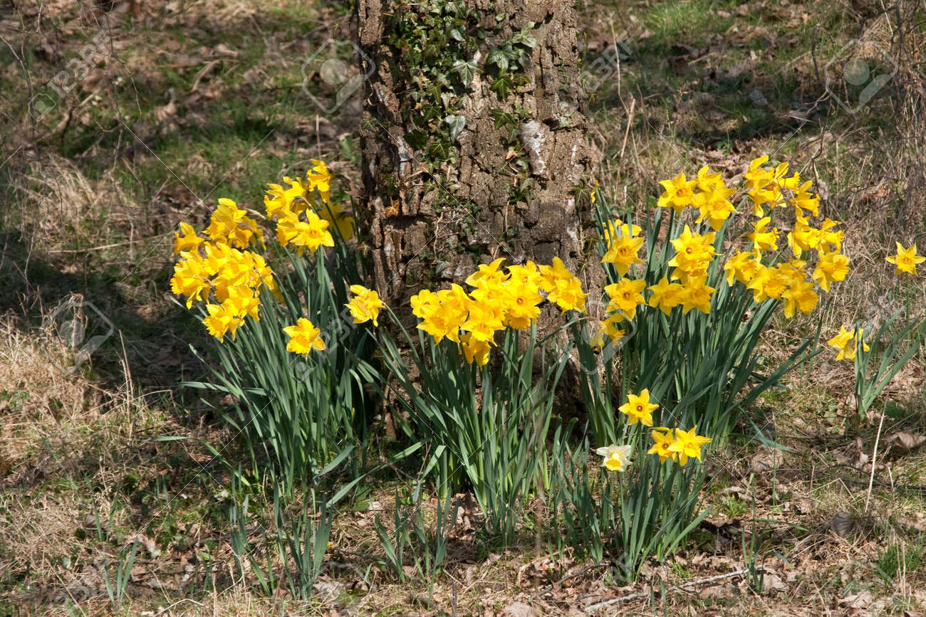 Spring daffodils surrounding the ivy covered bole of a tree Stock Photo - 4518453