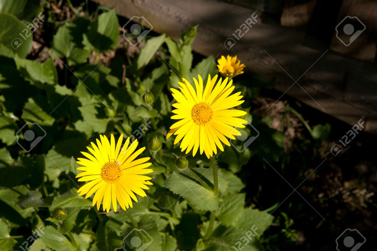 Bright Yellow Daisy Like Flower Wide Open To Absorb Sunshine Stock
