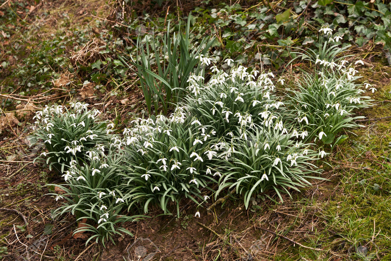 Clump of snowdrops growing wild under wall Stock Photo - 18373845