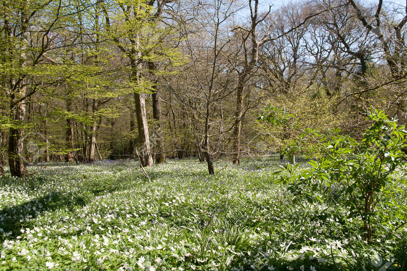 woodanemones have taken over from bluebells in an English country woodland Stock Photo - 19450633