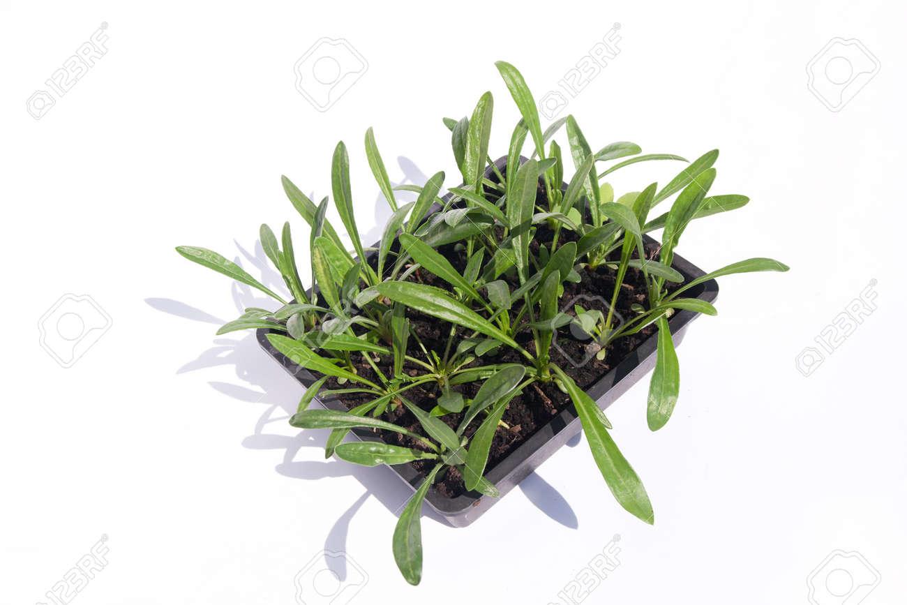 Small Gazania plants ready to go out into the garden Stock Photo - 20239588