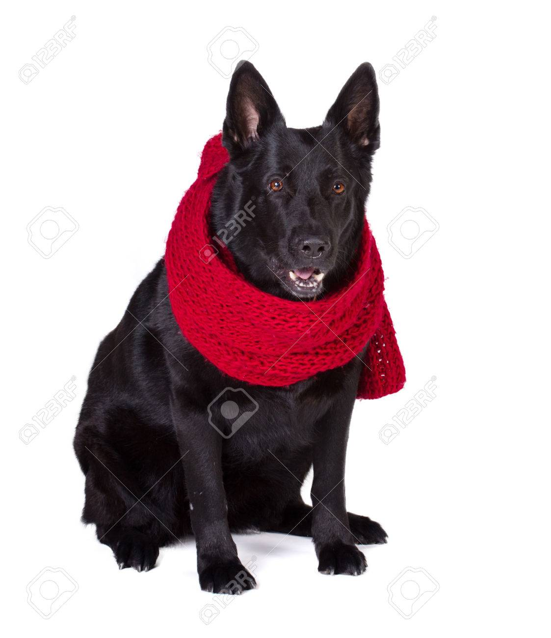 Black German Shepherd In Long Red Wool Scarf Isolated On White Stock