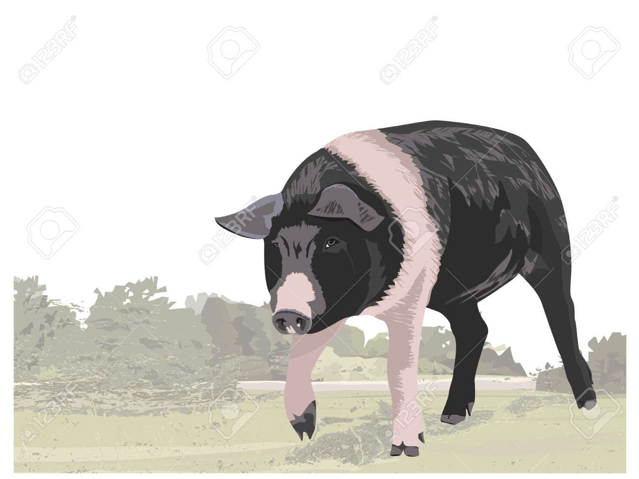 Berkshire pig illustration Stock Vector - 16963473