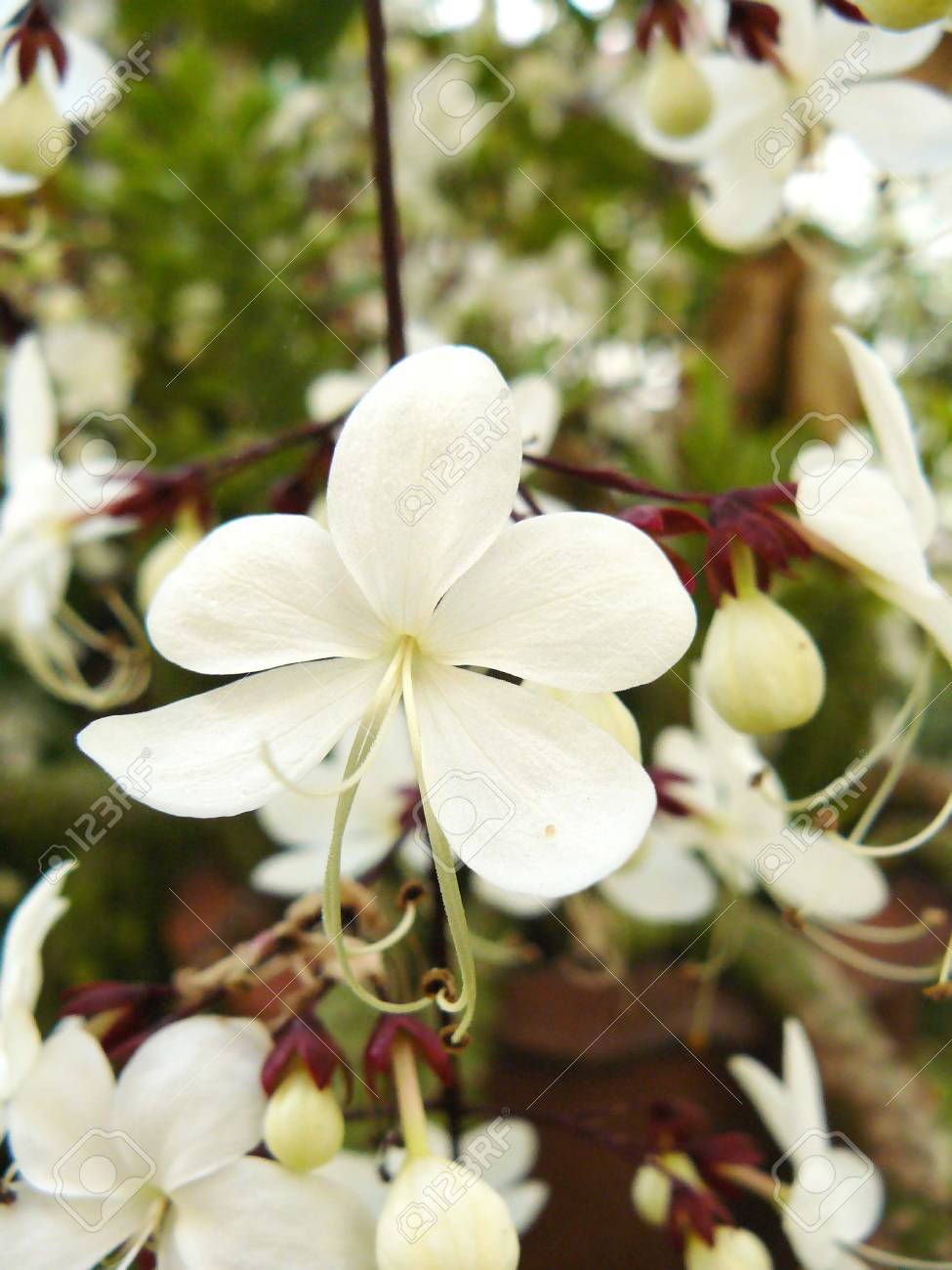 Close Up Of White Flower Nodding Clerodendron Or Clerodendrum