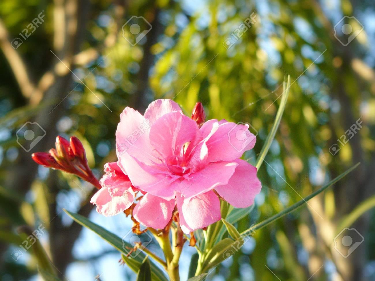 Close up soft pink sweet oleander flower or rose bay fragrant close up soft pink sweet oleander flower or rose bay fragrant oleander oleander mightylinksfo